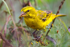 Brimstone Canary, Eating Seed. The Brimstone Canary is a seed eater, its heavy horn coloured bill is ideally adapted to crack open seeds Stock Images
