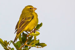 Brimstone Canary, Perched. The Brimstone Canary has a pleasant call, which is loud and prolonged and consists of twittering phrases and trills, rising at the end Stock Photo