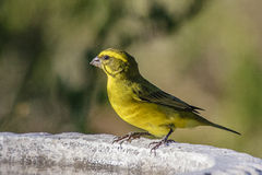 Brimstone Canary (Serinus sulphuratus). Brimstone canary drinking at a water bowl Royalty Free Stock Photography