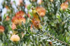 Brimstone Canary (Serinus sulphuratus). Behind protea flower in Kirstenbosch botanical gardens, South Africa Stock Photo