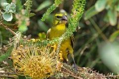 Brimstone Canary (Serinus sulphuratus) Stock Images