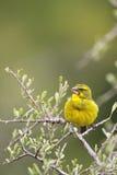 Brimstone Canary (Serinus sulphuratus) Stock Image