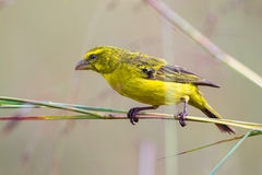 Brimstone Canary, On Twigs. The Brimstone Canary is one of the least sociable Canaries, found either alone, or in pairs. Often seen perched on bushes, fences, or stock photos