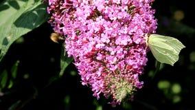 Brimstone drinking nectar upon rose Buddleja flower stock video footage