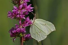 Brimstone, Gonepteryx rhamni Stock Images
