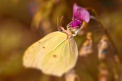 Brimstone - Gonepteryx rhamni Royalty Free Stock Photography