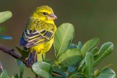 Brimstone-Kanarienvogel, auf belaubter Niederlassung lizenzfreie stockbilder