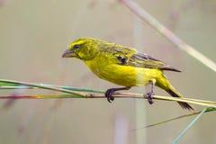 Brimstone-Kanarienvogel, auf Zweigen stockfotos