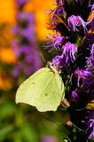 Brimstone Royalty Free Stock Photo