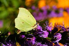 Brimstone Royalty Free Stock Images