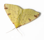 Brimstone moth. (Opisthograptis luteolata), close-up Royalty Free Stock Images