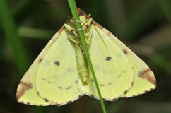 Brimstone Moth Stock Photography