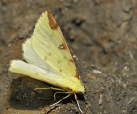 Brimstone Moth Stock Image