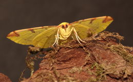 Brimstone moth. View of a Brimstone moth from in front against a dark background stock images