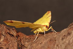 Brimstone moth. Royalty Free Stock Images