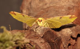 Brimstone moth. View of a Brimstone moth from the front against a dark background stock photos