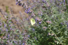 Brimstone motyl, Gonepteryx rhamni, motyl, żółty motyl Zdjęcie Royalty Free