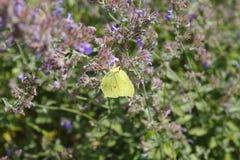 Brimstone motyl, Gonepteryx rhamni, motyl, żółty motyl Zdjęcie Stock