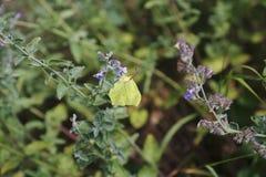 Brimstone motyl, Gonepteryx rhamni, motyl, żółty motyl Obrazy Stock