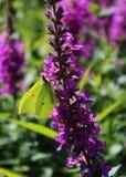 Brimstone motyl na purpurowym kwiacie Fotografia Royalty Free