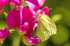 Brimstone motyl na wyka kwiacie Fotografia Stock