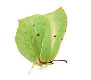 brimstone motyla zielone światło Zdjęcie Royalty Free