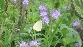 Brimstone-Schmetterling stock footage