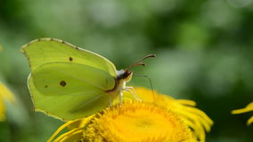 Brimstone-Schmetterling auf Blume des echten Alants im Garten stock footage