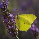 Brimstone-Schmetterling auf dem Lavendelgebiet Stockbilder