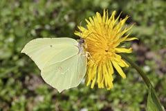 Brimstone-Schmetterling auf einem Löwenzahn Lizenzfreies Stockfoto