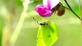 Brimstone-Schmetterling auf Wickenblume stock footage