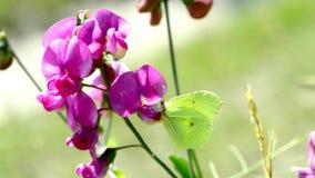 Brimstone-Schmetterling auf Wickenblume stock video