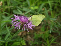 Brimstone on Knap Weed. A Brimstone on a Knap Weed stock image
