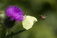 Brimstone - thistle - hoverfly Stock Photo