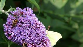 Brimstone und hoverfly trinkender Nektar nach Buddleja-Blume stock footage