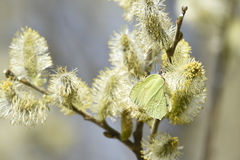 Brimstone on willow Stock Photography