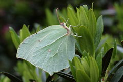 Brimstones. (Gonopteryx rhamnii) on rhododendron leaf Royalty Free Stock Photos