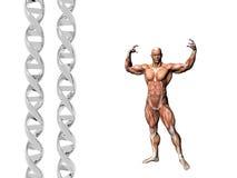 Brin d'ADN, homme musculaire. Image libre de droits