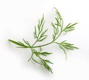 Brin d'aneth vert Photo stock