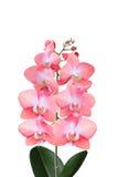 Brin d'orchidée fleurissante Images libres de droits