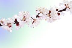 Brin de floraison d'amande. Image libre de droits