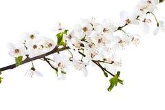 Brin de floraison de cerise. illustration de vecteur