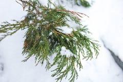Brin de genévrier à feuilles persistantes images libres de droits