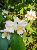 Brin de jasmin de floraison Photos libres de droits