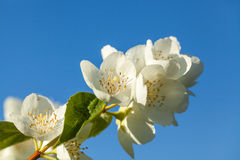 Brin de jasmin sur un fond de ciel bleu, région de Tver, Russi Images stock