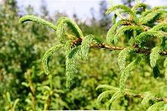 Brin de pin, d'arbre conifére, de belles couleurs et de fond de tache floue Bonne photo sur le fond de site Web Photos stock