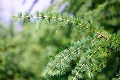 Brin de pin, d'arbre conifére, de belles couleurs et de fond de tache floue Bonne photo sur le fond de site Web Photo stock