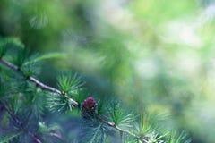 Brin de pin, d'arbre conifére, de belles couleurs et de fond de tache floue Bonne photo sur le fond de site Web Photographie stock libre de droits