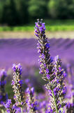Brin of lavender on Provençal bokeh Royalty Free Stock Photo