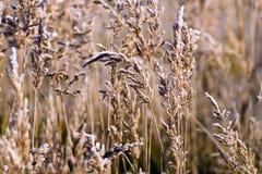 Brina sui gambi di alta erba inaridita del campo dopo il gelo di notte Immagini Stock Libere da Diritti